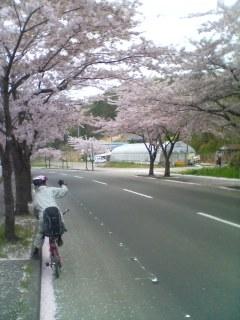 大畑桜街道